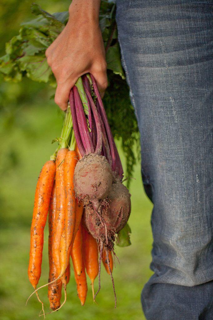 Eine Frau hält frisch geerntete Karotten und rote Rüben in ihrer Hand
