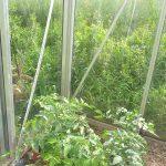 Tomatenanbau
