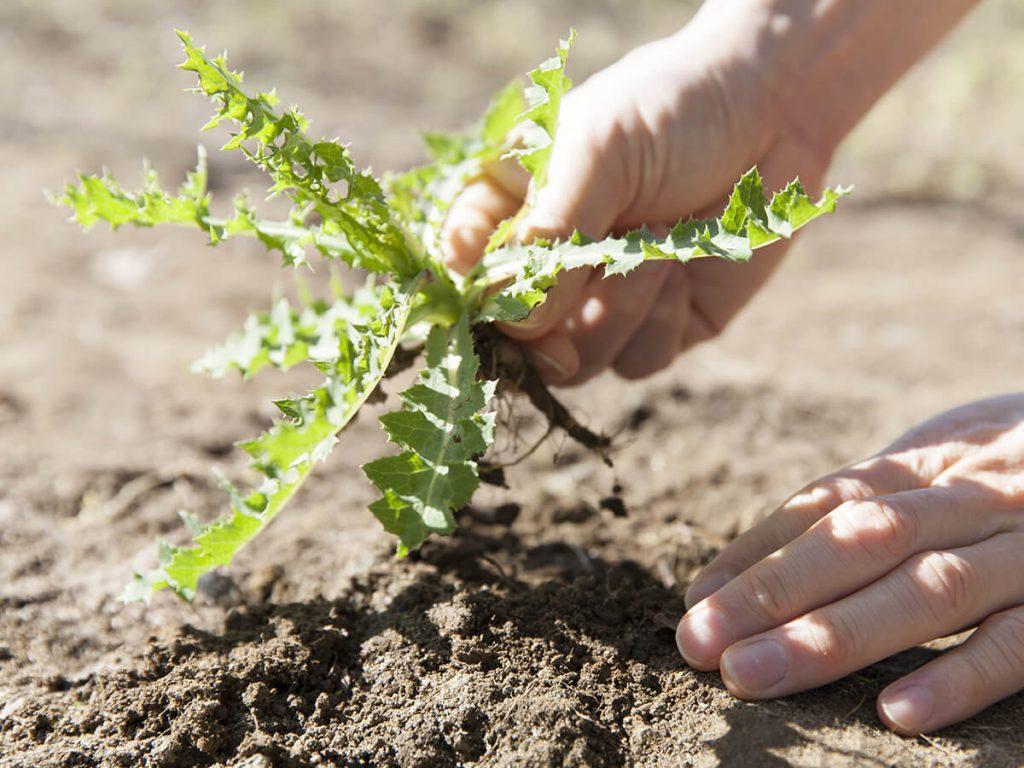 Entferntes Unkraut verbraucht kein Wasser der Nutzpflanze